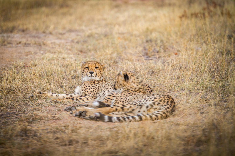 Download Two Cheetahs Laying In The Grass. Stock Photo - Image: 83718251