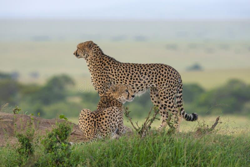 Two Cheetahs on a mount, Maasai Mara, Kenya, Africa. royalty free stock image