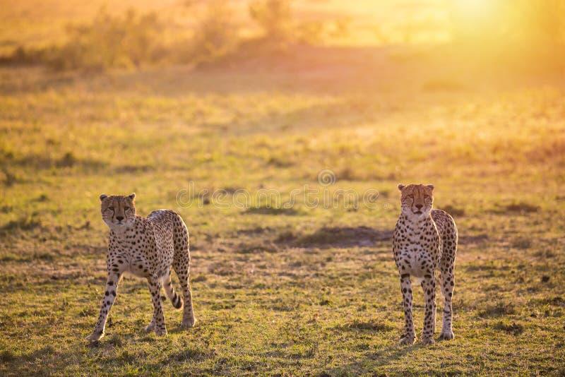 Two Cheetahs walking in Masai Mara national Park during sunrise. Safari in Kenya royalty free stock images