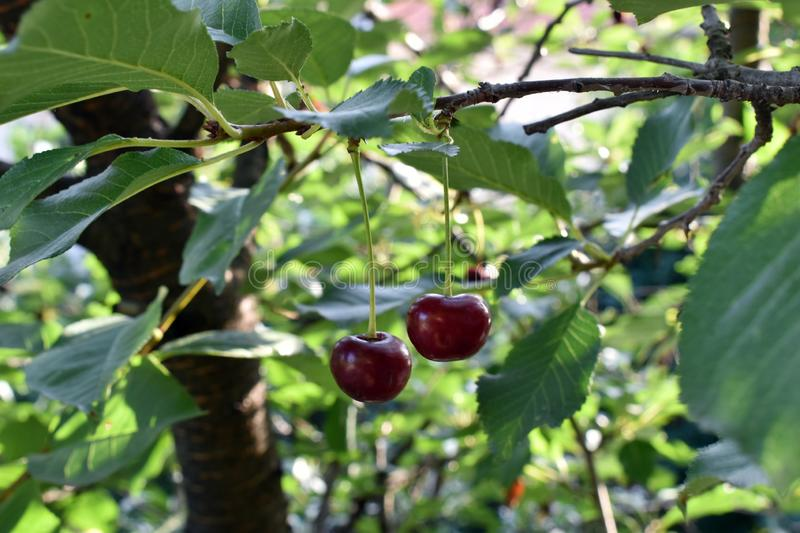 Two Cherries on the branch. Cherry fruit on the tree. Two cherries on a branch royalty free stock photo