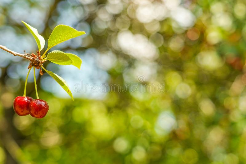 Two cherries on tree. Top focus. Great background picture. royalty free stock photography