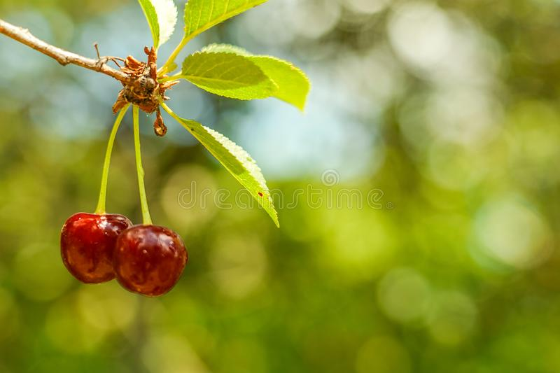 Two cherries on tree. Top focus. Great background picture. stock photo