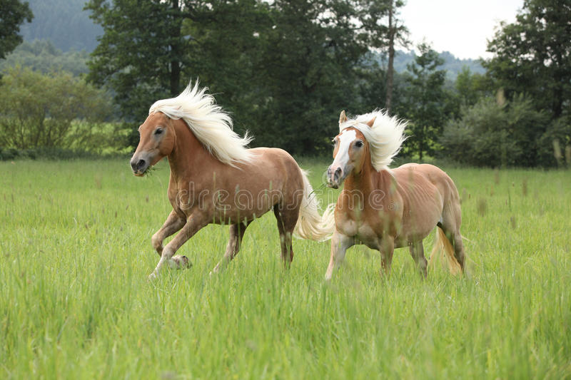 Two Chestnut Horses With Blond Mane Running In Nature ... - photo#33