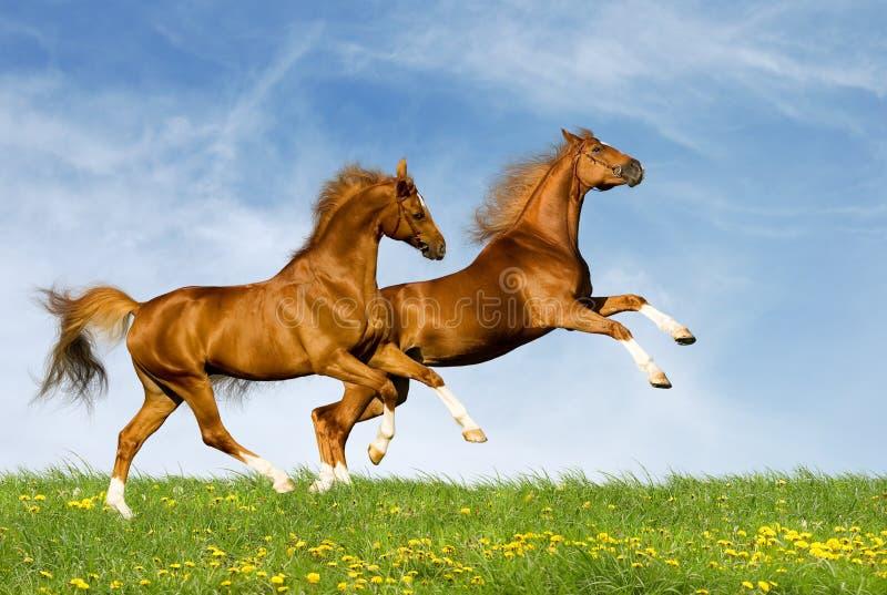 Two chestnut horses gallops
