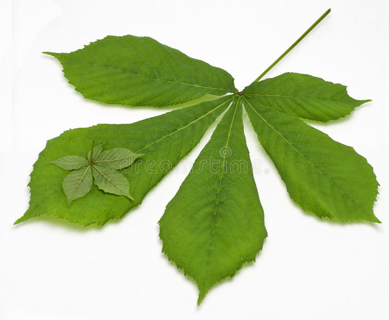 Two chestnut Leaf stock photography