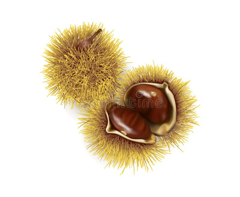 Two chestnuts one closed and open. stock photo