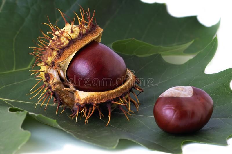 Two chestnuts over leaf stock photography