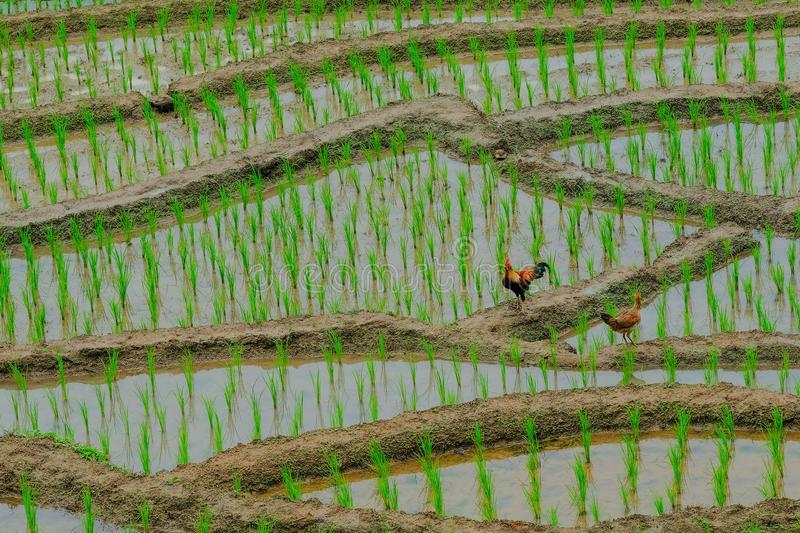 Two chickens standing on ground royalty free stock photos