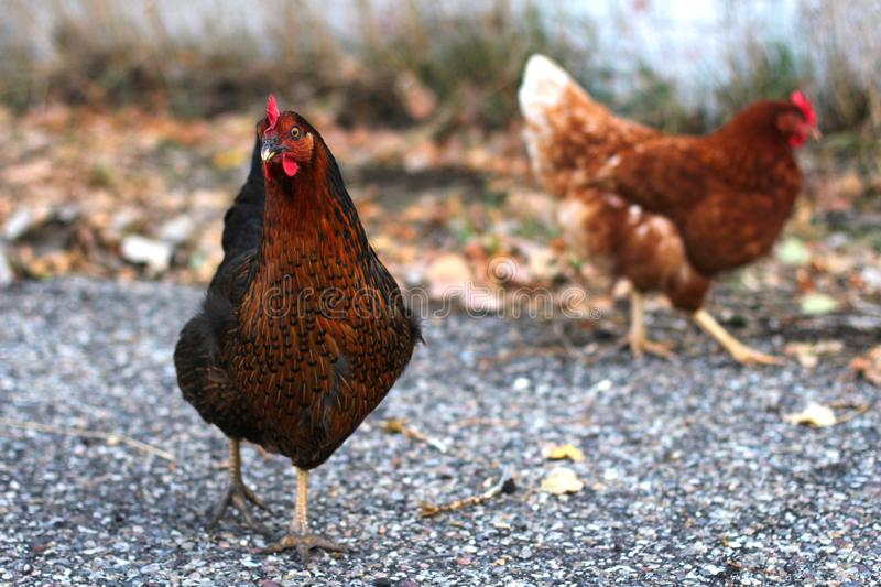Two Chickens Walking royalty free stock photography