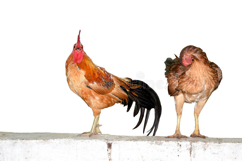 Two chickens on wall isolate on white background stock images
