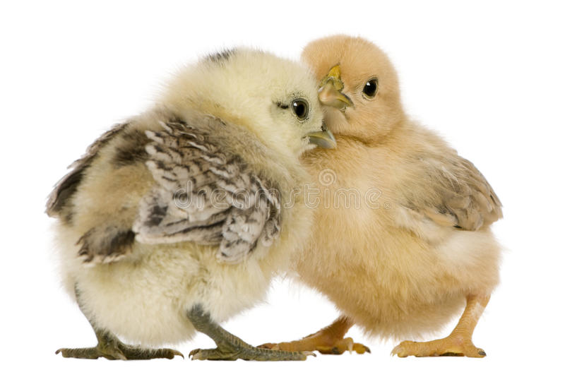 Download Two chicks stock photo. Image of themes, adorable, horizontal - 14539600