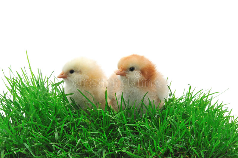 Download Two chicks in grass stock image. Image of chick, cute - 14860311