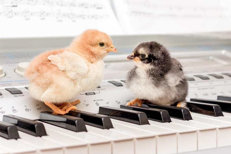 Two chicks on the piano keys. Performing a musical play with a d. Uet. Young musicians royalty free stock photo