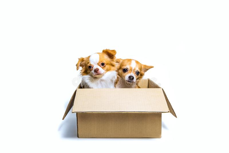 Two Chihuahua dogs In a brown paper box stock photos