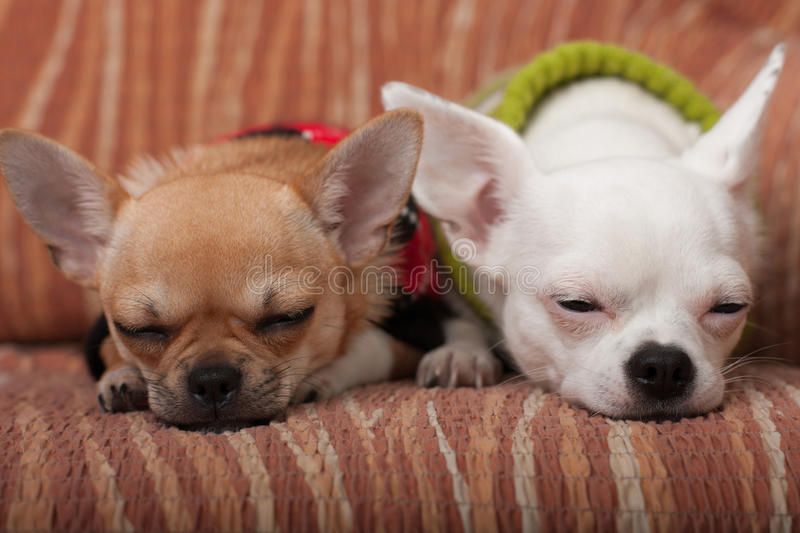 Two Chihuahua dogs dressed with pullovers resting on sofa royalty free stock photo