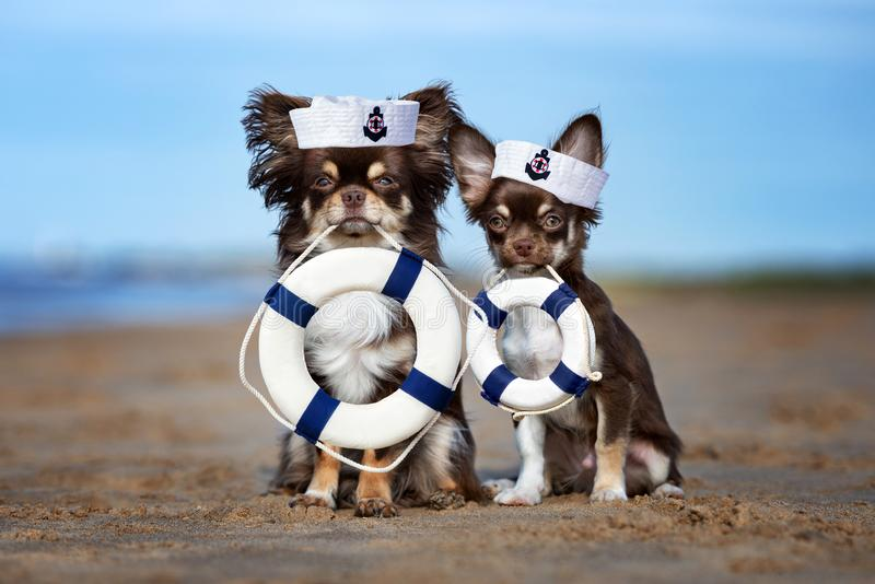 Two chihuahua dogs holding life buoys on the beach stock photos