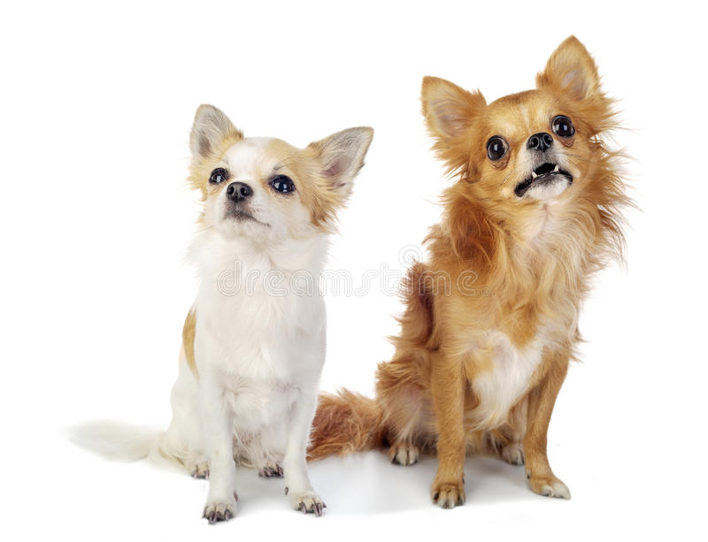 Download Two Chihuahua Dogs Looking Up With Interest Stock Image - Image: 27559177
