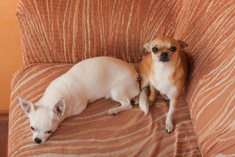 Two Chihuahua dogs are lying on sofa, 2,5 years old cinnamon female  and 5 years old white female stock photos