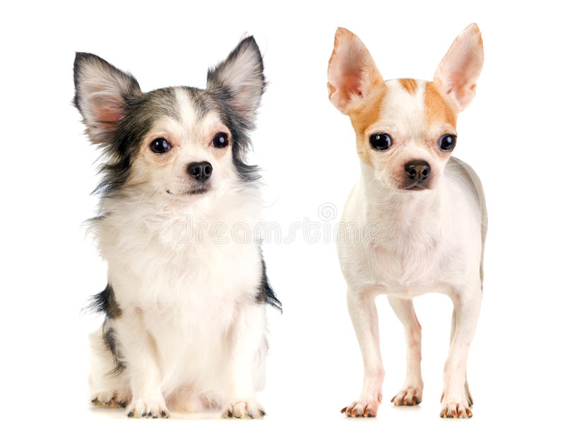 Download Two Chihuahua Long-haired And Short-haired Stock Image - Image: 29457431