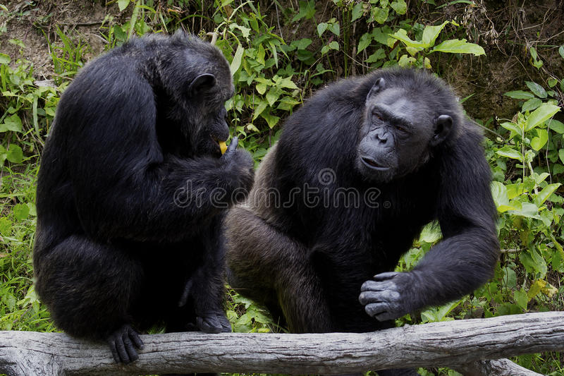 Two chimpanzee royalty free stock photography