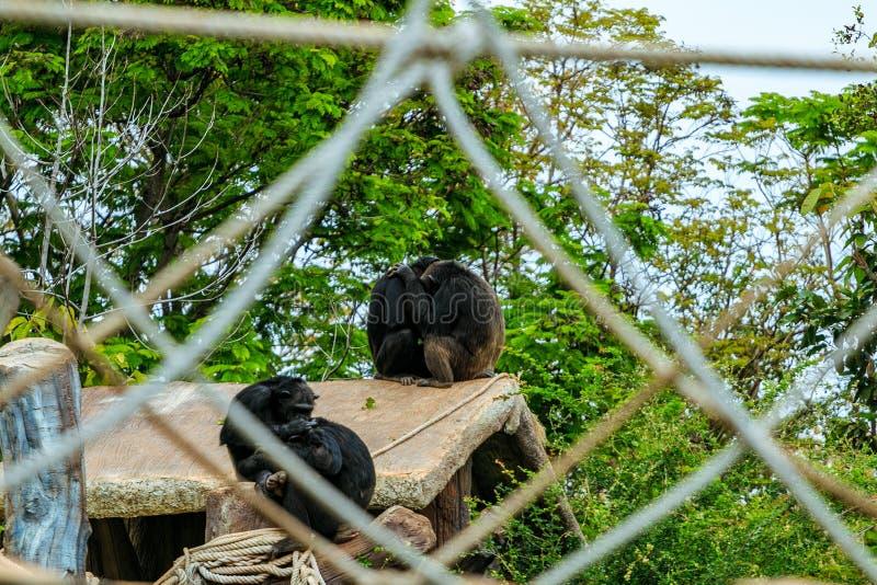 Two chimpanzee monkey hug on roof behide net in zoo stock images