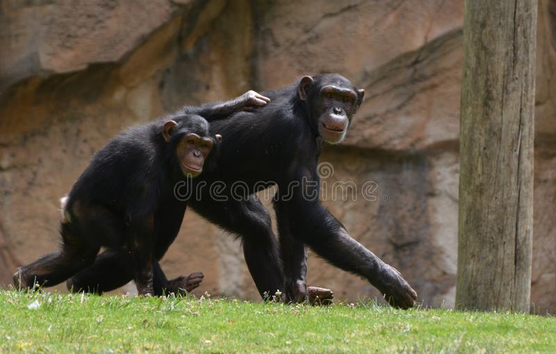 Two chimpanzee walk together in harmony royalty free stock photography