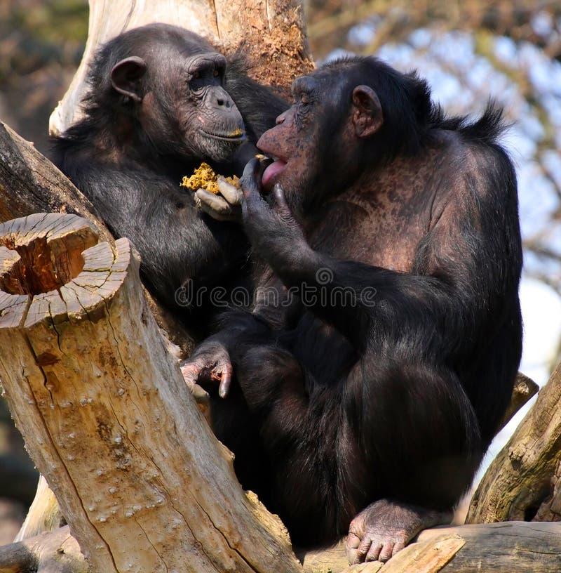Two chimpanzees royalty free stock image