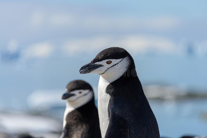 Chinstrap penguin on the snow in Antarctica. Two chinstrap penguins on the snow beach in Antarctica royalty free stock image