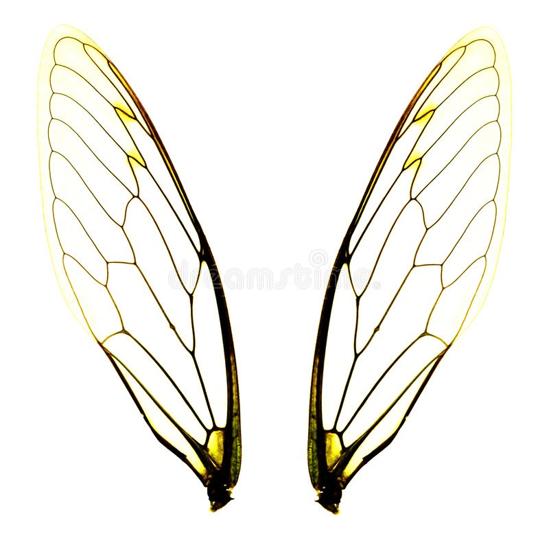 Two cicada wings royalty free stock photos