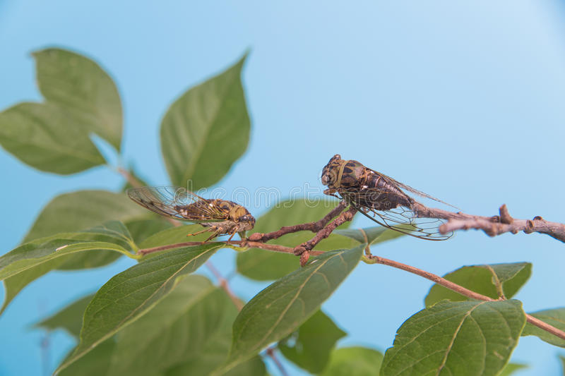 Two cicadas on a leafy branch stock photography