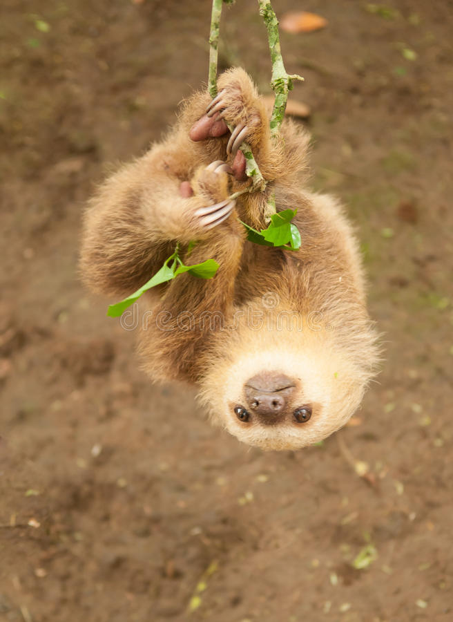 Two clawed sloth royalty free stock image