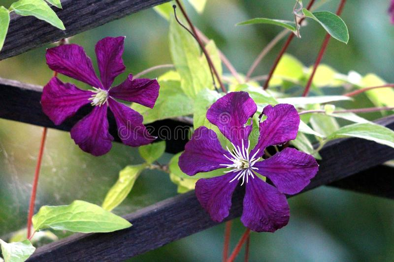 Two Clematis or Leather flowers dark purple easy care perennial vine flowers with leathery petals and bright yellow center. Surrounded with green leaves growing royalty free stock photos