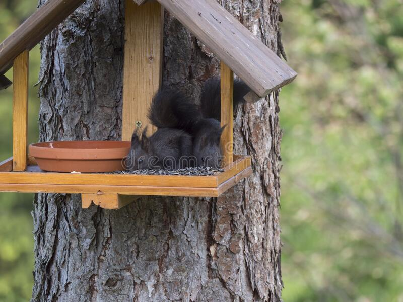 Two close up cute black squirrel, Sciurus vulgaris sitting in the bird feeder table, tail up with sunflower seed in paws royalty free stock images