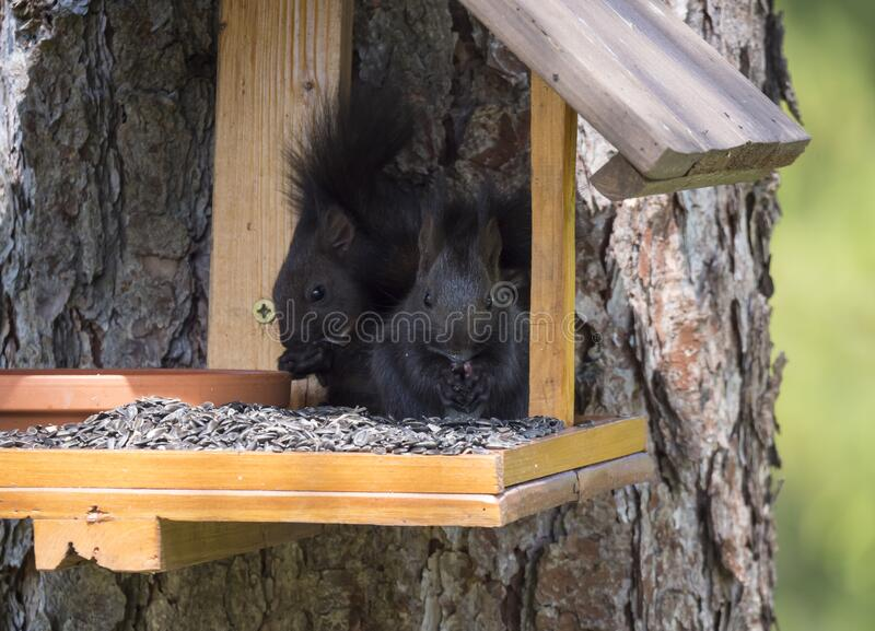 Two close up cute black squirrel, Sciurus vulgaris sitting in the bird feeder table, tail up with sunflower seed in paws stock photo