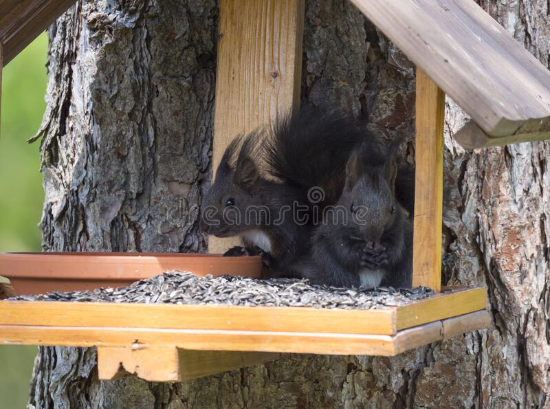 Two close up cute black squirrel, Sciurus vulgaris sitting in the bird feeder table, tail up with sunflower seed in paws stock photos