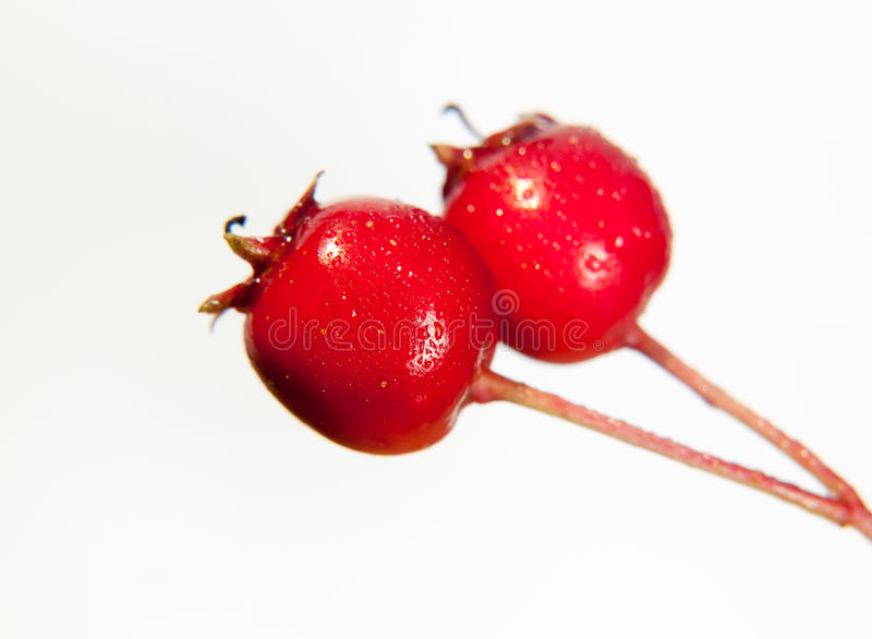 two close up wet water dew droplet red hawthorn berries Crataegus on white background in studio royalty free stock photos
