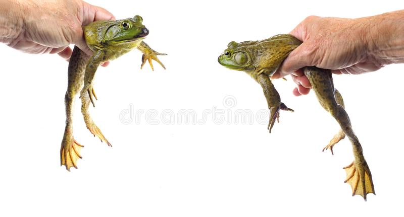 Two Closeup Focus Stacked Images of a Large American Bullfrog Held by a Male Hand stock photo