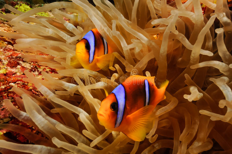Two clowfish stock photo