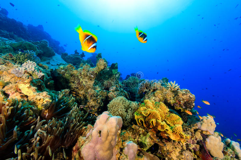Two clownfish swiming over a tropical coral reef royalty free stock image
