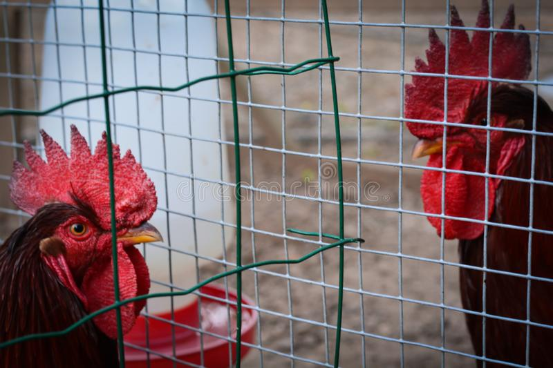Two roosters fenced. Close up of two roosters royalty free stock photo