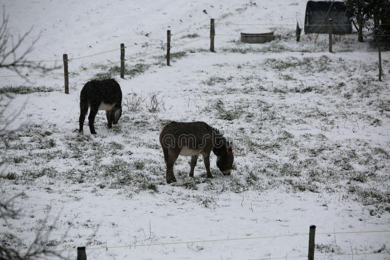 Two cold little donkeys graze the little grass that comes out of. The snow on the frozen ground in winter royalty free stock photo