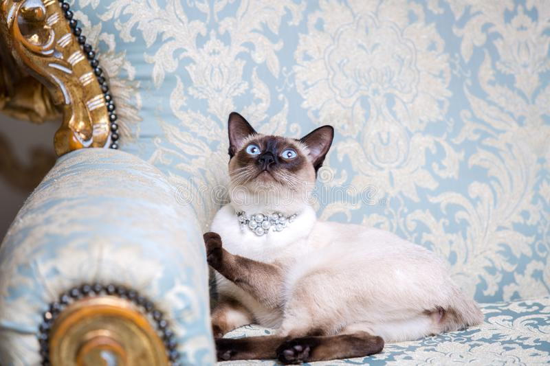 A two-color cat without tail of Mekong Bobtail breed with a jewel a precious necklace of pearls around his neck sits on stock photos