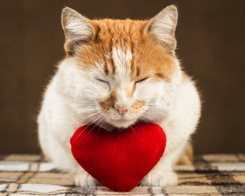 Two-color ginger cat meditates beside lies plush toy heart. Two-color cute ginger cat meditates beside lies plush toy heart royalty free stock photography