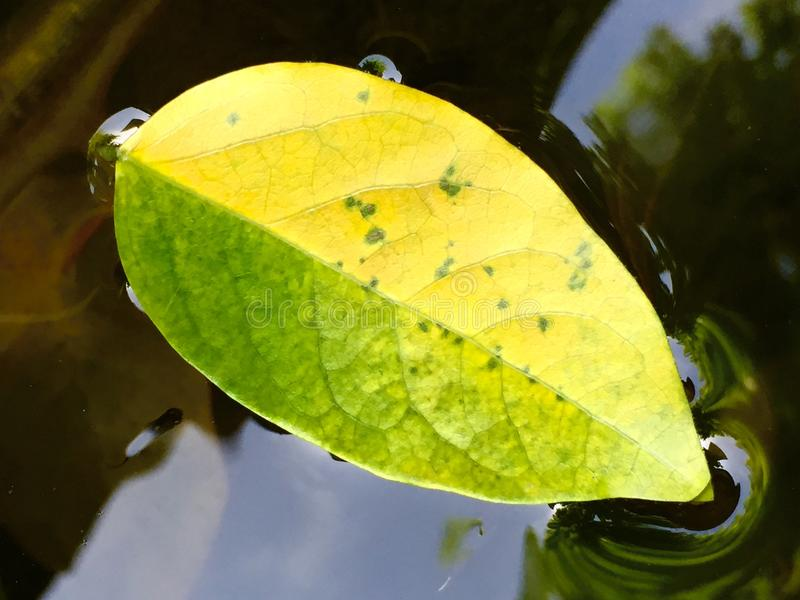 Two color leaf royalty free stock image