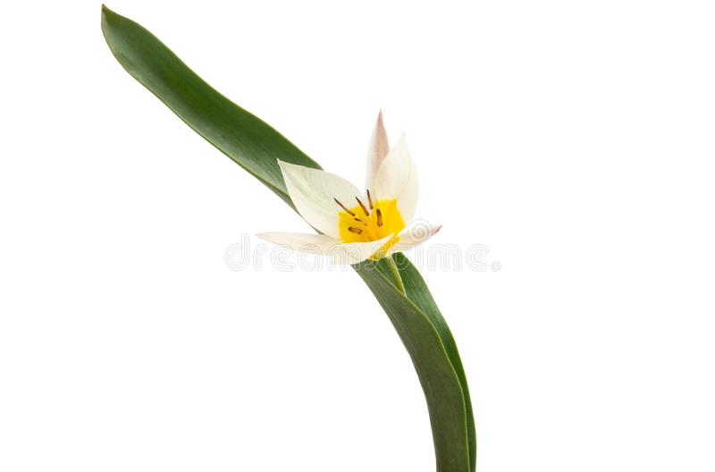 Two-color tulip isolated royalty free stock photo