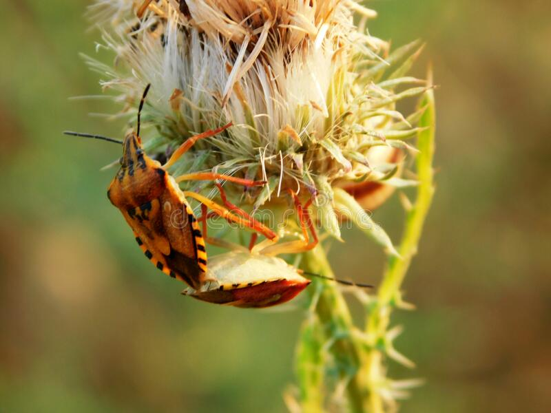 Two colorful bugs at the foot of an overblown burdock flower royalty free stock photography