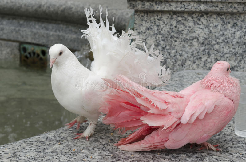 Download Two Colorful Doves On A Parapet Stock Image - Image: 34513127