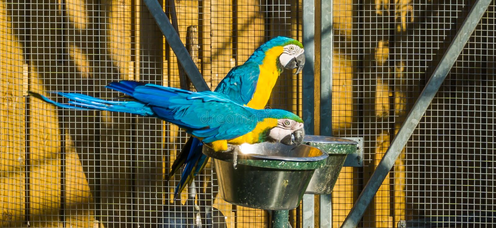 Two colorful macaw parrot birds sitting and drinking out of a tray stock photography