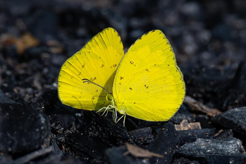 Two colorful Orange Emigrant butterflies using proboscis to draw water from wet charcoal royalty free stock images
