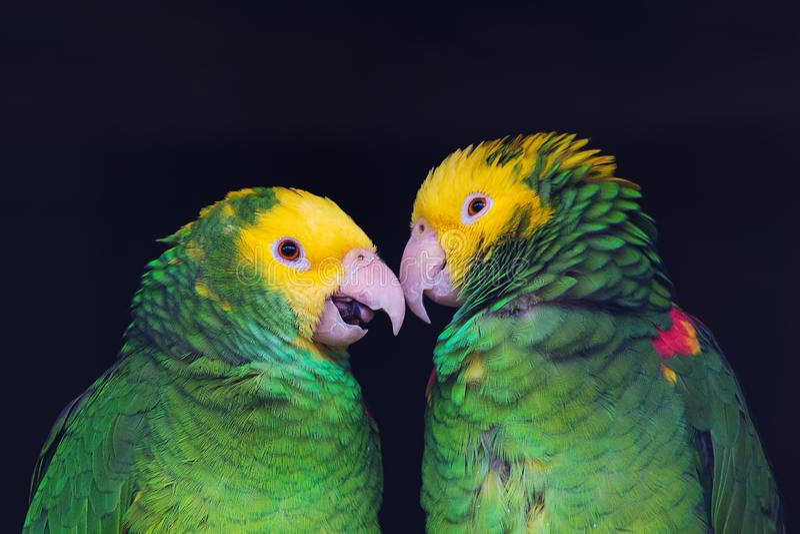 Two colorful parrots in friendly talk, Amazona ochrocephala oratrix, portrait. Of two lovers royalty free stock photos